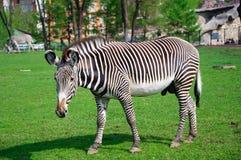 Zebra che si leva in piedi in un giardino zoologico Immagine Stock Libera da Diritti