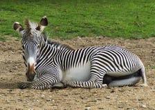 Zebra che si siede nell'erba Fotografia Stock Libera da Diritti