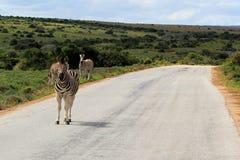 Zebra sulla strada Fotografie Stock