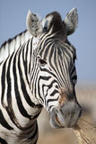 Zebra chewing grass, Etosha National Park, Namibia Stock Photography