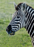 Zebra chewing Royalty Free Stock Photo