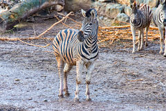 The Zebra child all alone Royalty Free Stock Image