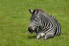 Zebra chillout Royalty Free Stock Photos