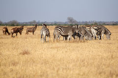 Zebra - Chobe N.P. Botswana, Africa. Plains Zebra - Chobe National Park, Botswana, Africa Royalty Free Stock Photo