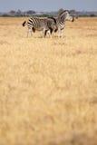 Zebra - Chobe N.P. Botswana, Africa Stock Photos
