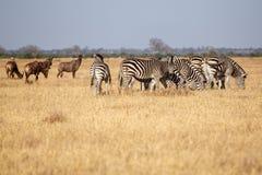 Zebra - Chobe N P Botswana, Afryka Zdjęcie Royalty Free