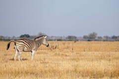 Zebra - Chobe N P Botswana, Afryka Zdjęcia Stock