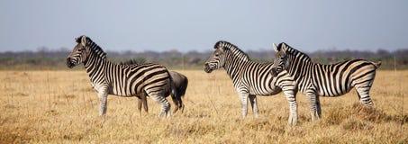 Zebra - Chobe N P Il Botswana, Africa immagine stock
