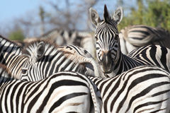 Zebra. In chobe national park, botswana Stock Photo