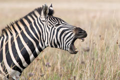 Zebra chompers. A zebra displaying its teeth seen from side Stock Photos