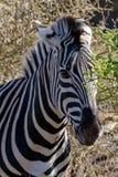 Zebra chuje między drzewami obrazy royalty free