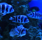 The zebra cichlid Stock Image
