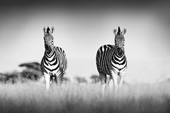 Zebra with clear sky. Black and white art photo. Burchell`s zebra, Equus quagga burchellii, Nxai Pan National Park, Botswana,. Africa. Wild animal on the meadow royalty free stock photography
