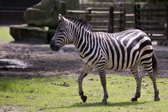 Zebra in a clearing Royalty Free Stock Photos