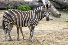 Zebra in a clearing Royalty Free Stock Images