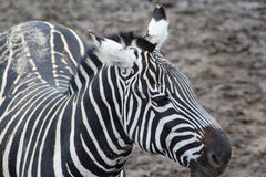 Zebra close Royalty Free Stock Images