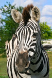 Zebra Close Up Stock Images