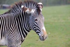 Zebra close up. Zebra on grass close up Royalty Free Stock Image