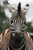 Zebra close-up. Close-up of a zebra's head showing striped facial markings royalty free stock photos