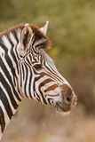 Zebra close-up Royalty Free Stock Photos