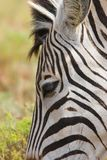 Zebra close up Royalty Free Stock Image