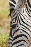 Zebra close up Royalty Free Stock Image