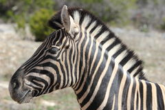 Zebra Close up Royalty Free Stock Photos