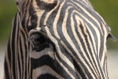 Zebra Close up Stock Image