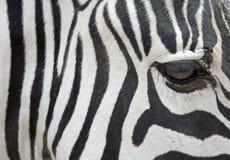 Zebra - close up imagens de stock royalty free