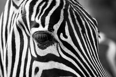 Zebra close up Royalty Free Stock Photography