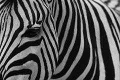 Zebra. Close up of a Burchells zebra Stock Images