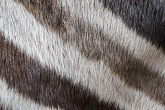 Zebra close up. In detail Royalty Free Stock Photography