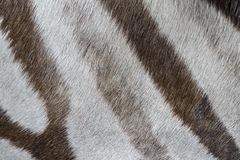 Zebra close up. In detail Stock Photography