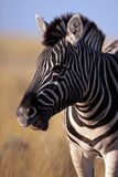 Zebra close-up, Etosha NP, Namibia Stock Image