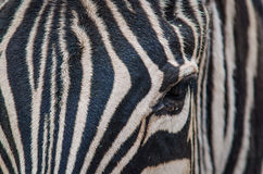 Zebra close up head Stock Photos