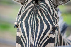 Zebra close up head Stock Photo
