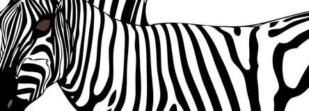 Zebra (close up) Stock Photos