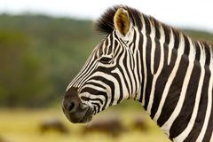 Zebra Close Up. Kragga Kamma Game Park in Port Elizabeth lush coastal forest and grassland is home to vast herds of African game stock image