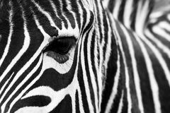 Zebra close up. Royalty Free Stock Photography