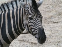 Zebra Close-up Portrait stock images