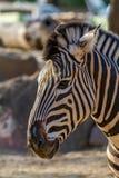 Zebra close up portrait Stock Image