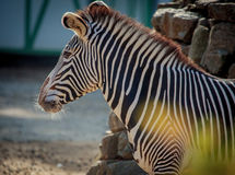 Zebra close up portrait in a zoo Royalty Free Stock Image