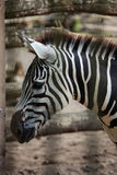 Zebra close up portrait in a zoo Stock Images