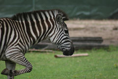 Zebra Close Up. Profile of zebra face and front legs Royalty Free Stock Photos