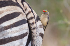 Zebra close-up with red billed ox-pecker on rear. Zebra close-up photo with red billed ox-pecker on rear stock photo