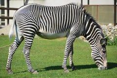 Zebra. Close up shot of zebra eating grass Stock Photo