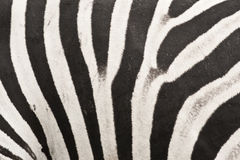 Zebra. Close up of a Zebra skin in south africa Royalty Free Stock Photography