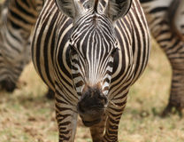 African Zebra close up Royalty Free Stock Photo