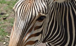 Zebra Close up in Sun. Zebra up close and personal in the sun.  Brown stripes on face are this zebra`s natural coloration Royalty Free Stock Photo