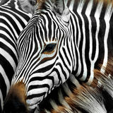 Zebra. Close up from a zebra surrounded with black and white stripes in his herd stock photography
